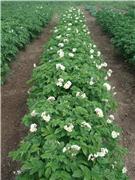 Технология выращивания картофеля.