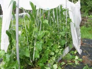 Интересная технология выращивания огурцов.