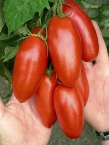 Детерминантные и индетерминантные сорта помидор.