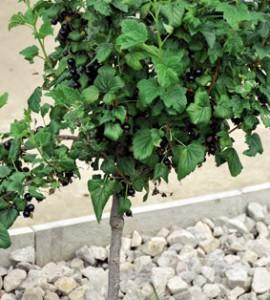 Выращивание смородины в виде деревца.