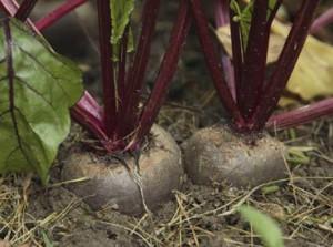 выращивание свеклы - особенности