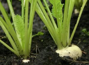 посадка и выращивание репы