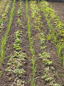 Технология выращивания чеснока – нюансы